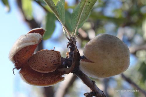 Frische Mandeln, direkt vom Baum